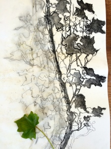 My shadow drawing of ivy, repeated as the sun moved across the sky (charcoal)