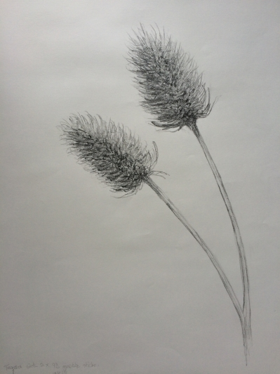 Teasels.  Observational drawing in pencil.